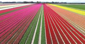 champs de tulipe en hollande